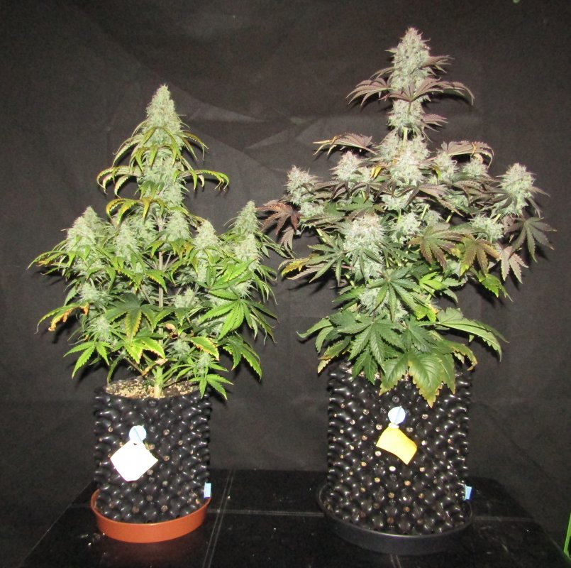 blue cheese creme tasmo day 69.JPG