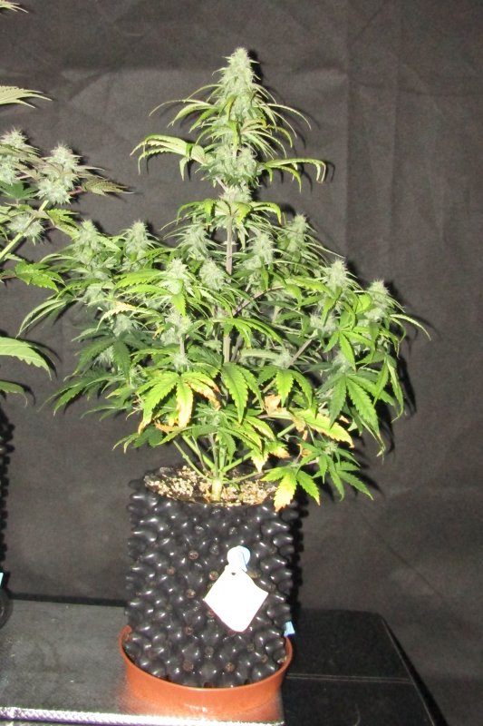 blue cheese creme tasmo day52.JPG