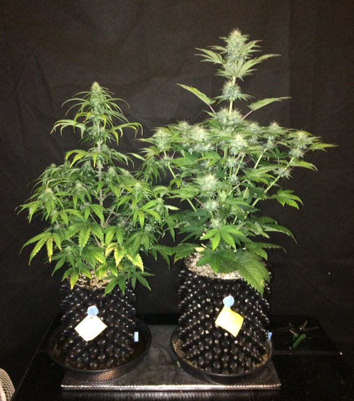 creme tasmo blue cheese  and 6L day 44.JPG
