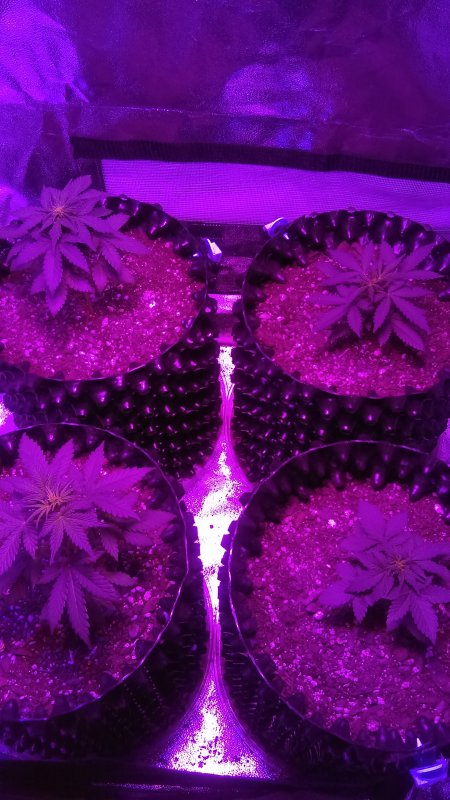 //... & Mephisto Mystery Mix. 2X4X6 Tent w/LED in supersoil(first grow ...