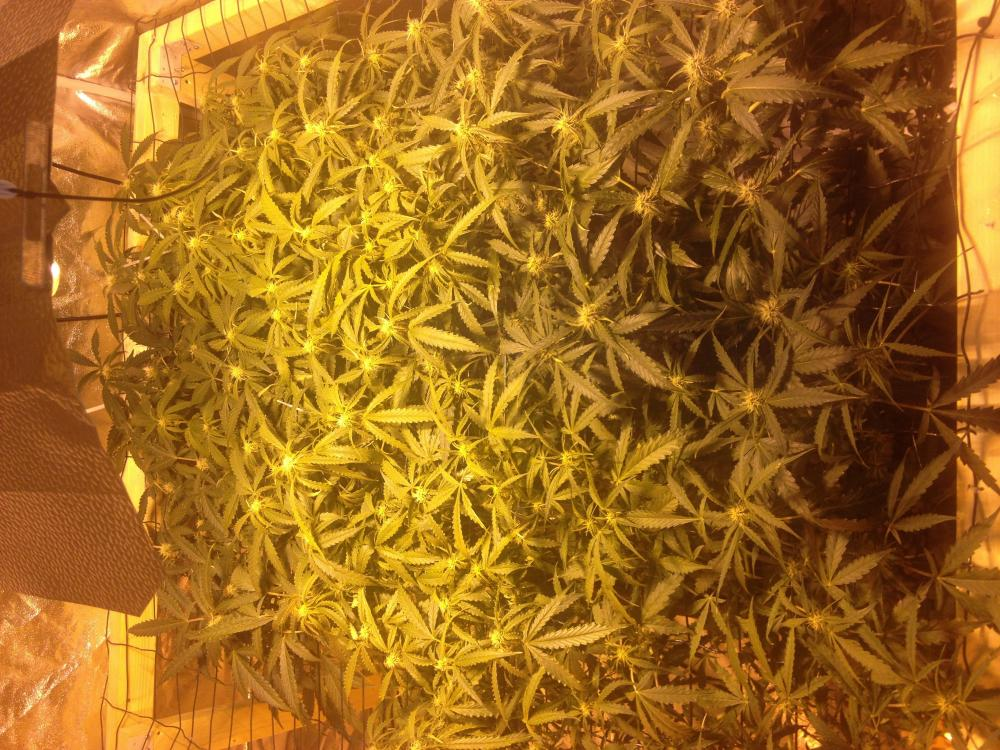 image.jpg & Think different scrog hydroponic wilma system | The AutoFlower ...