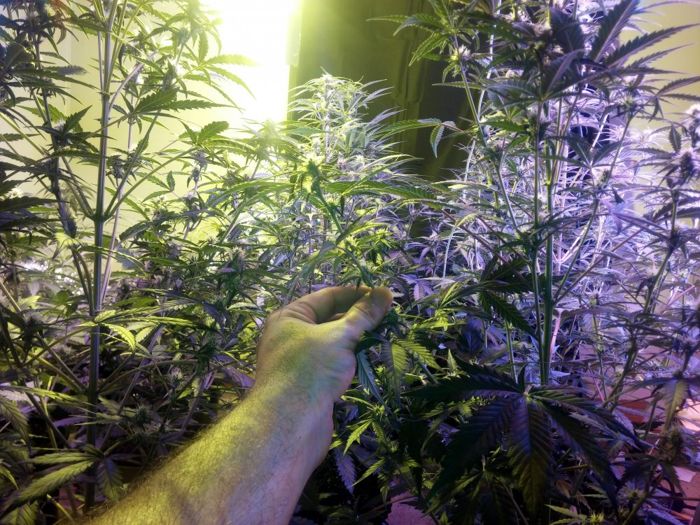 The Elvis Grows The Gorilla glue,Stardowg!! | Page 11 | The