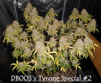 db003's Tyrone Special #2